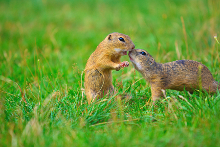 Kiss. Love of squirrel couple. Ground squirrels  are kissing in meadow. Small animal enjoy Valentines Day