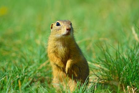 ジリスは、前足と餌のいくつかのトウモロコシを保持します。短い草に座って一人で小動物。 写真素材