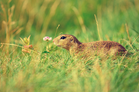 Cute European ground squirrel. Lovely gnawer feeding on meadow (Spermophilus citellus)