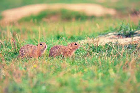 Ground squirrel couple. Ground squirrels  are feeding in meadow. Small animal sitting in short grass.