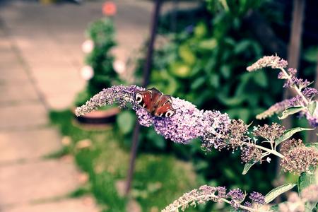 io: Peacock butterfly feeding nectar on lilac flower. Rich colors of purple buddleja bush in summer garden