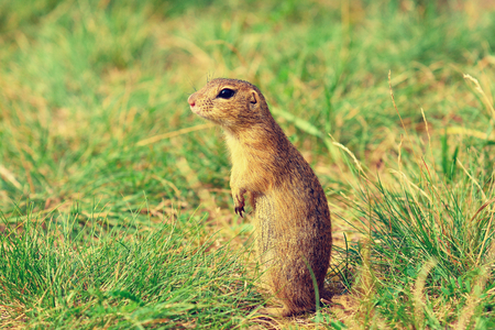 legs around: Alerted squirrel . Ground squirrel alert and watching around. Cute mammal on meadow