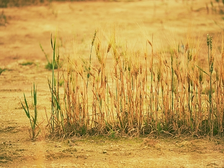 Poor wheat harvest. Dry cracked clay in corner of wheat field. Dusty ground with cracks and wilted flowers. Stock Photo