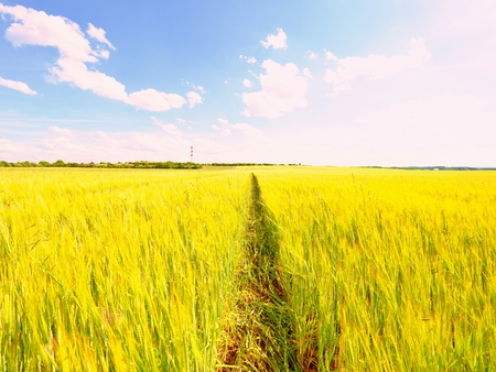 shinning: Shinning young yellow barley corns growing in field, light at horizon. Golden Sun rays in barley spikes