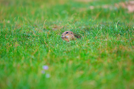Cute European ground squirrel. Lovely gnawer feeding on meadow (Spermophilus citellus)