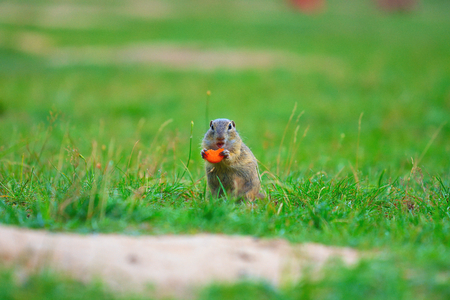 Ground squirrel hold some corns in front legs and feeding. Small animal sitting alone in  short grass.