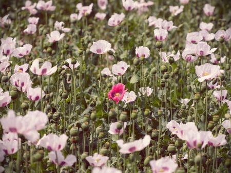 White poppy flower in the blossom, some green poppy heads. Filed with green poppy heads in background. Papaver somniferum is the type of poppy from which opium and many refined opiates are extracted.