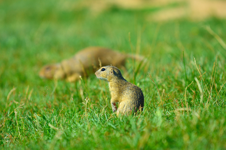 Couple of ground squirrel looking some corns and feeding in meadow. Small animal sitting in  grass.