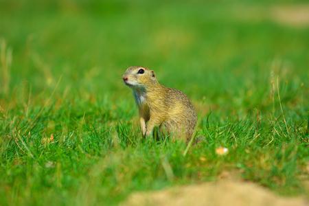 Alerted squirrel . Ground squirrel alert and watching around. Cute mammal on meadow
