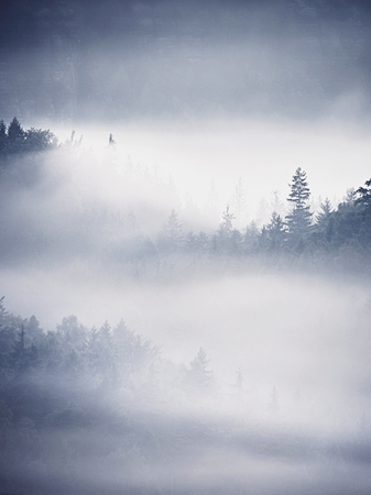 white trim: Stripped colorful mist. Summer forest after heavy rainy night. Treetops increased from thick fog and stripping inversion.