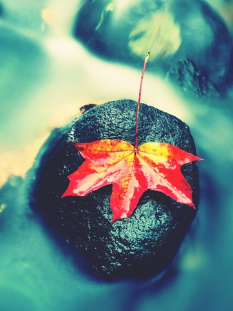 Autumn nature. Detail of rotten orange red  maple leaf. Fall leaf lay on dark stone in blurred mirror water of mountain river. First autumn leaves. Stock Photo