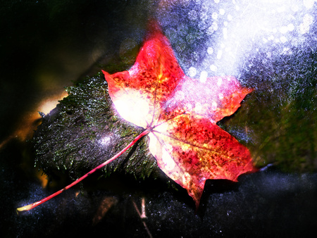 Flare, soft focus. Autumn nature. Detail of rotten orange red  maple leaf. Fall leaf lay on dark stone in blurred mirror water of mountain river