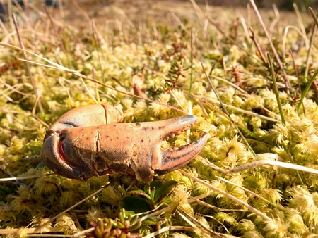 Claw of crab. Broken and dry claw isolated  on mossy stone. Place where seaguls and another sea birds feed their catches.