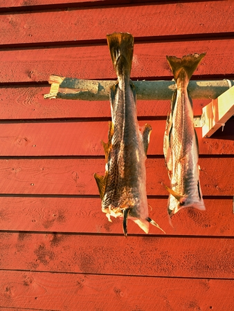 Drying of cod fishes. Unsalted codfish dried  by cold air and wind on wooden racks. Red and white traditional  house used by fishermen in Skandinavia.