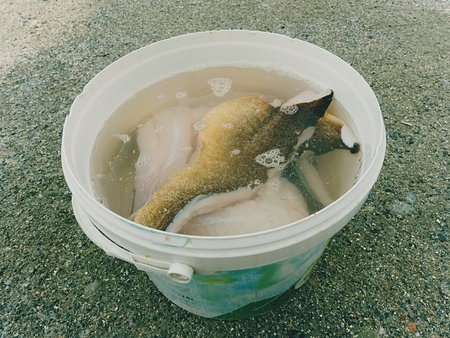Fresh fish fillets in salt water. Raw cod fish steaks in plastic bucket, ready for final control and  freezing. Food industry, meat processing.