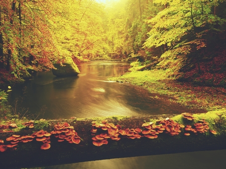 Colorful fall forest with mushrooms growing on fallen trunk above the mountain river. Sunset between colorful trees. Beautiful landscape