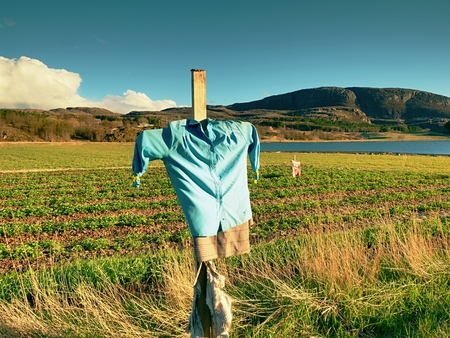 Scarecrow made of old clothes in strawberry field. Blue shirt and brown skirt Scarecrow on wooden cross Stock Photo