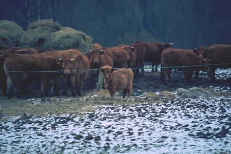 Brown long hairs cows in snow landscape. The livestock on a farm walks on snow .   Cows and snow 版權商用圖片
