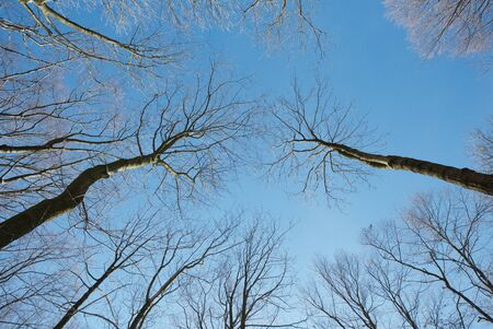 Looking up to the cloudy sky through beeches that have lost their leaves. Winter season.