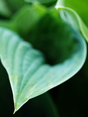 Hosta, ornamental plant for landscaping park and garden design. The Hosta plant for landscaping park and garden design. Large lush greenery with streaks. Veins of the leaf. Фото со стока