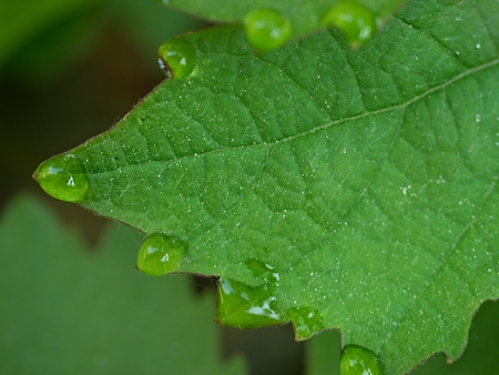Few drops of dew on the tips of the green  leaves of the vine like a necklace of pearls.  Leaf of grapes with water drops, blurred background