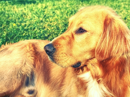 Portrait of calm Golden Retriever. Healthy athletic body of smart lying dog on the grass. Detail close-up view into dog face
