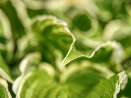 Green variegated Hostas. Hosta plant is popular Perennial flower grows in wet shady places Stock Photo