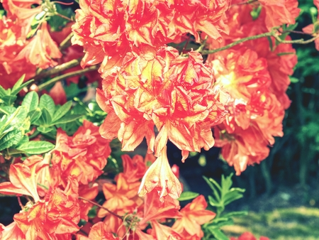 Rhododendron plants in bloom with flowers of different colors. Azalea bushes with water droplets on the petals in the sun. Rodendron after rain