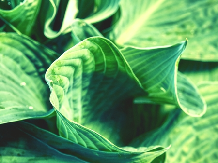 Hostas are herbaceous perennial plants growing from rhizomes or stolons with broad lanceolate or ovate leaves. Large lush green leaves with streaks.