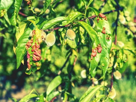 Damaged leaf peach almond Taphrina deformans disease cloque.  Leaf disease outbreak contact the tree leaves.