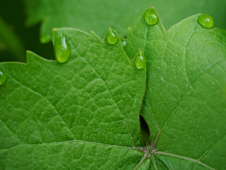 Young green grape vine branch during spring. Detailed young grape vine leaf Stock Photo