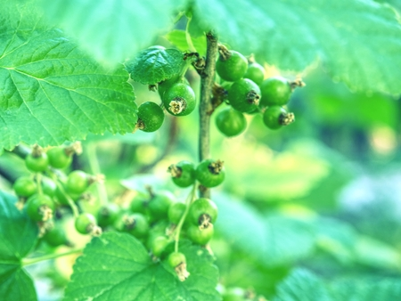 Immature, green currant berries on the Bush. Young berries of red currant. Not ripe red currant in detail