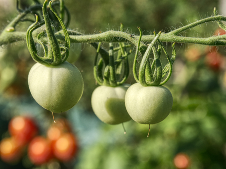 Fresh green unripe tomatoes on the plant.  Green Heirloom Tomato Ripening on the Vine