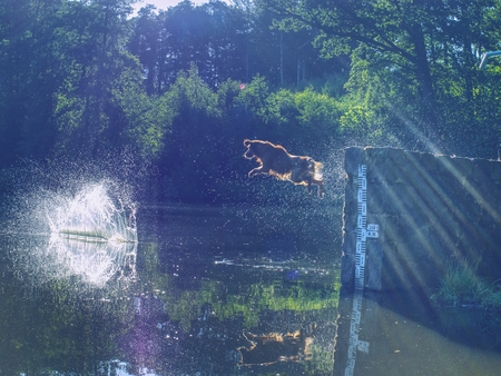 Golden retriever jumping into cold water for wooden branch. Dog enjoy playing games and training. 写真素材