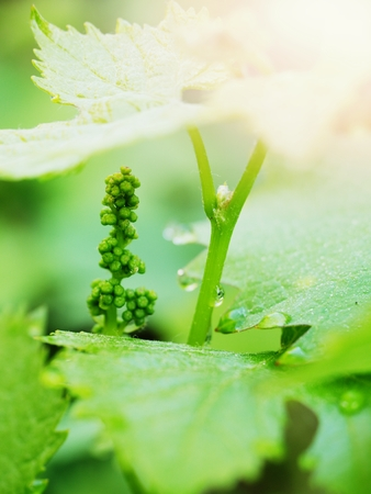 Bunch of green unripe white grapes in leaves growing. Selective focus, shallow DOF.