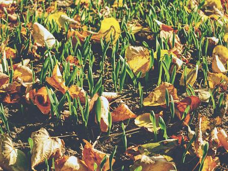 Field in autumn. Leaves fallen in rows of young corn plants in endless field.  Fall season in countryside.