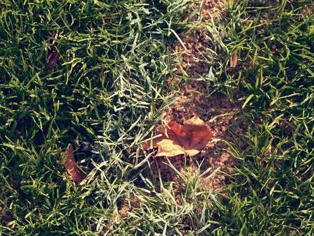 Yellow leaves fallen on green football soccer grass field. End of outside season. 版權商用圖片
