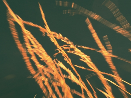 Reeds stalks in blurred movement picture for background. Contrast of dark blue and yellow gold colors