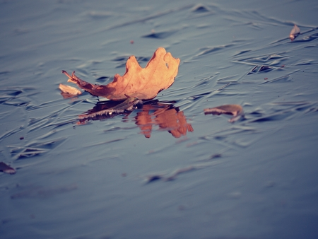 Dark thin ice on lake covered with oak leaves. Early winter weather Stockfoto