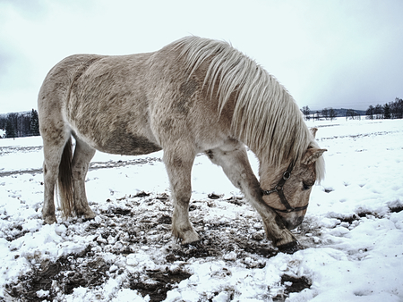 Isabella coloured horses in winter country. The first snow on meadow at horses farm.