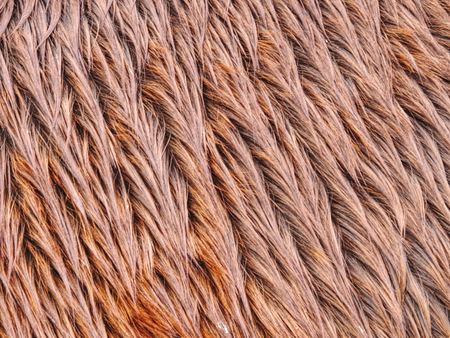 Fluffy wet brown horse winter fur. Animal hair of fur ponny leather. Natural Fluffy brown cowhide body Standard-Bild