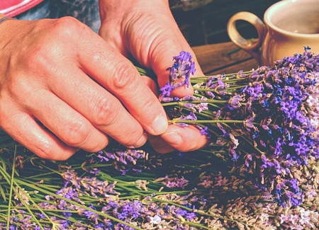 Collecting of blended stalks. Nice bouquet of the beautiful smell lavender branches Reklamní fotografie