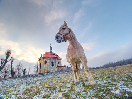 Horse on meadow close village chapel. Horse looking for stalks  in old frozen grass. The concept of eco-tourism 版權商用圖片