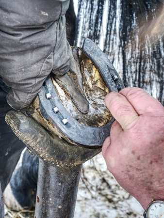 Farmer use nail and hammer on new forged horsesshoe on horse hoof, close up on nail in hand Stock Photo