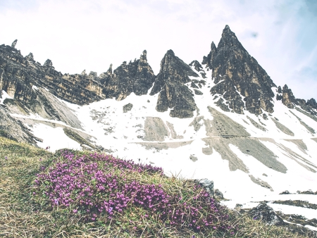 Pink heather bush against to sharp peak of Dolomites Alps. Spring weather in popular mountain range in Italy.