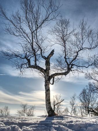 Bent alone tree in sowy winter landcape. Alone Tree in the snow in winter. Beautiful white winter Archivio Fotografico
