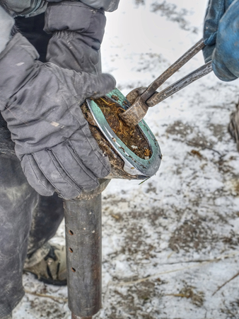Farrier used cutting pliers for removing old horse shoe from legs. Danger tradition works. Animal care in horse farm