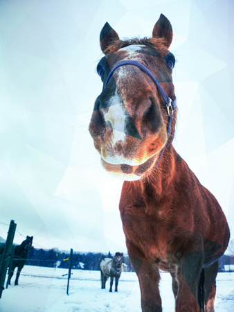 Dark brown horse on snowy pasture. Horse stays close to camera.