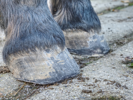 Horse hooves after farrier care. Smith finnished regular trimming and clearing of hoof, used rasp to remove worn keratin Фото со стока