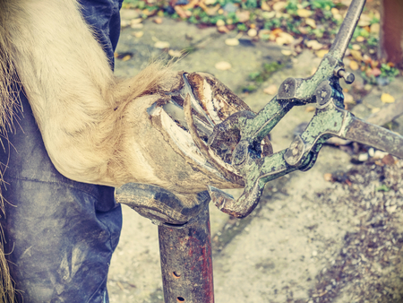 Hands of blacksmith clean and adjust horse  hooves with pliers, rasps, and another special tools.